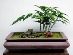 文竹盆景发芽后怎么取材与培育 图片