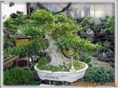 陈玉宝谈5个方面来发展沙西榕树盆景产业