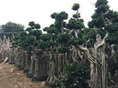沙西镇栽培榕树盆景投入资金1000多万元