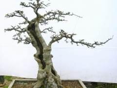 溪口只卖5元钱的五针松盆景 在杭州可卖30元