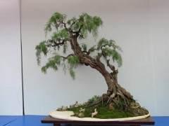如何将柽柳盆景制作成仿垂柳型?