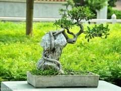 2003年 福建省人参榕盆景出口创汇1558万美元