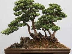 北海罗汉松盆景协会成立于1988年 现有80多人