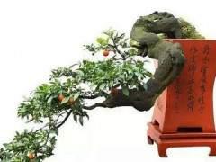 果树盆景的喷药整形与防寒越冬