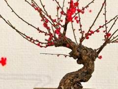 莱州高档盆景梅花市场每盆价位100元