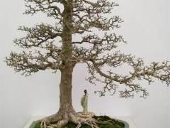 一棵养护约10年的榆树盆景