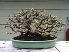 如何制作长寿梅盆景?