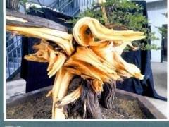 樊顺利演示柏树盆景的造型过程
