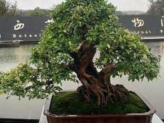义乌盆景艺术家--楼学文