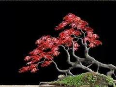 日本红枫树盆景为什么不红?养护问题吗?