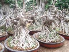 榕树盆景应该怎么养护?