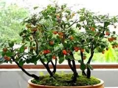 老鸦柿盆景的树桩选择与修剪塑形