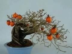 老鸦柿盆景发芽后的盆土养护与虫害防治