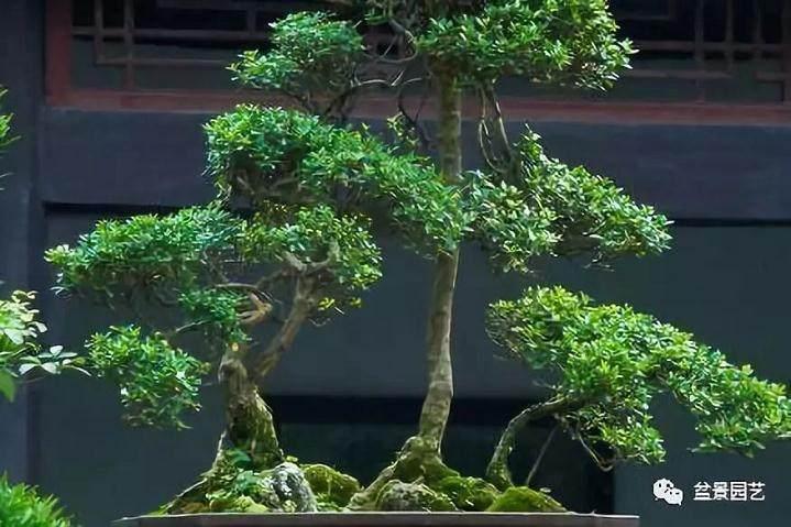 如何做好黄杨盆景的修剪选择?