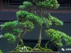 如何做好黄杨老桩盆景的修剪选择