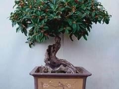 如何嫁接桂花盆景 植株成型速度快?