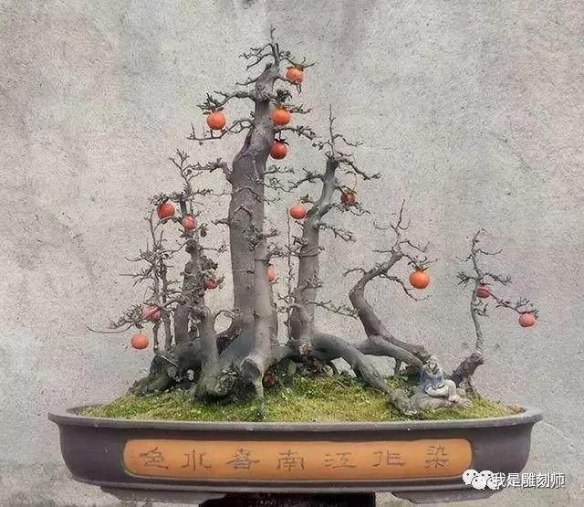 雨林式金弹子盆景10万元成交!