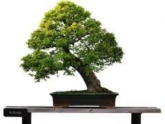 盆景植物对培养土配制的要求