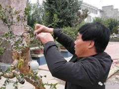 河南省盆景协会在宁陵召开石榴盆景研讨会