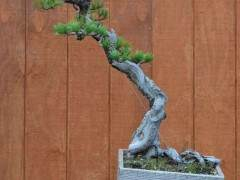 如何制作螺旋型松树盆景?
