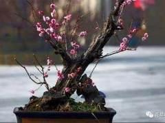 梅花盆景耐旱 过多的水分会伤害到植株的根系