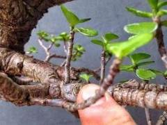 玉树老桩盆景3个月制作成型的方法