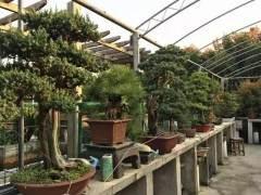 淮安7旬老人用六年时间打造一个私家盆景园