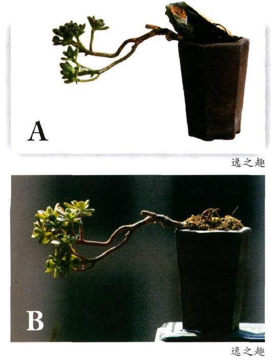 景天科莲花掌属多肉植物的制作方法