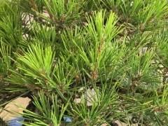 什么原因导致春季黑松盆景出现黄针?