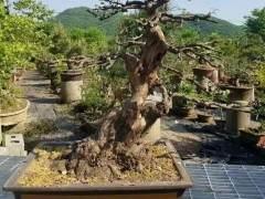 2017年铜陵怡康盆景园销售额达700多万元