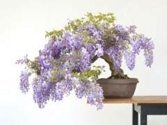 我的紫藤盆景有问题 叶子变黄并在边缘燃烧