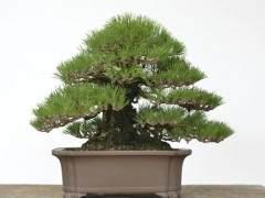 美国盆景艺术家盘扎黑松盆景 树龄90年