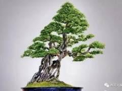 不同季节如何养护好雀梅盆景?