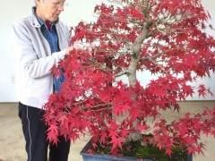 何时在秋季修剪日本枫树盆景最好?