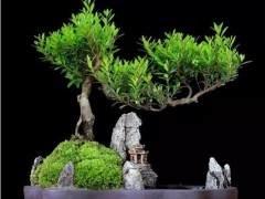 图解 盆景修剪摘叶 可以促进萌芽