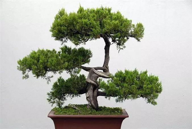 这样处理盆景树桩的切口 可以让盆景成活提高10倍