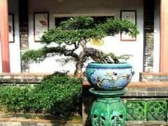 福建茶盆景发芽率也非常高 所以很容易造型
