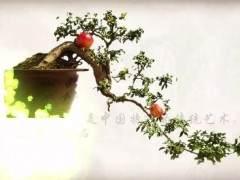 如何用老枝接根来制作石榴盆景?