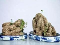 上水石盆景上植物栽种养活方法详解