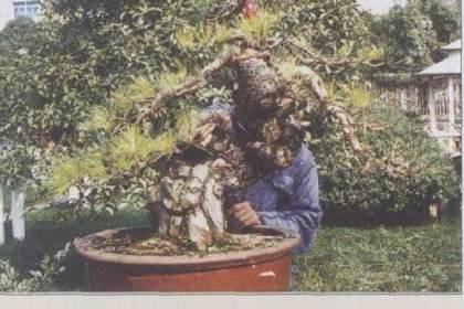 图解赤松盆景《唐魂》的制作历程