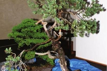 图解 韩国盆景大师制作赤松盆景的过程