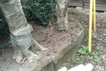 你想不想看 盆景批发商是如何种植生桩的?