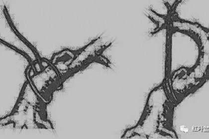 树木盆景造型弯曲的7个技巧