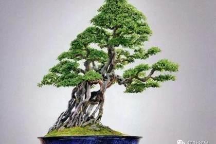 树木盆景的露根技巧主要有以下4种