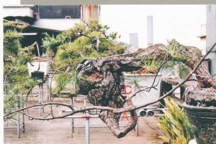 图解我对松树盆景10年来的造型过程