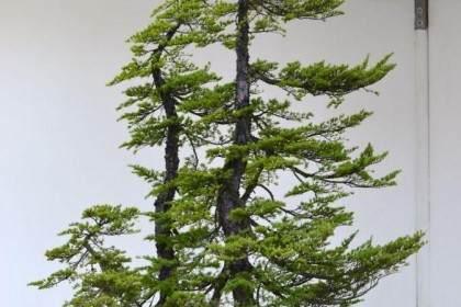 看老外 用14幅图 来展示铁杉盆景造型的全过程