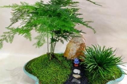 图解 制作文竹盆景的3个步骤