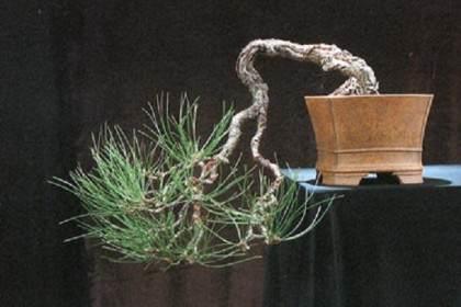 图解 老外用黑松嫁接黄松盆景的过程