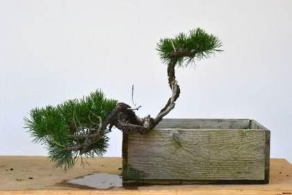 图解 海岸松盆景根部怎么修剪的过程