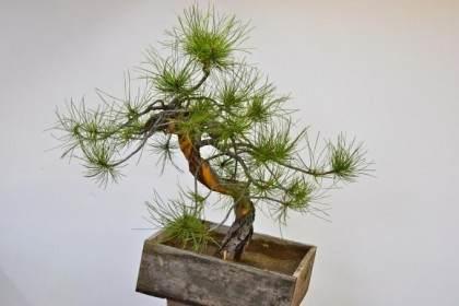 看我如何把松树盆景修剪的焕然一新